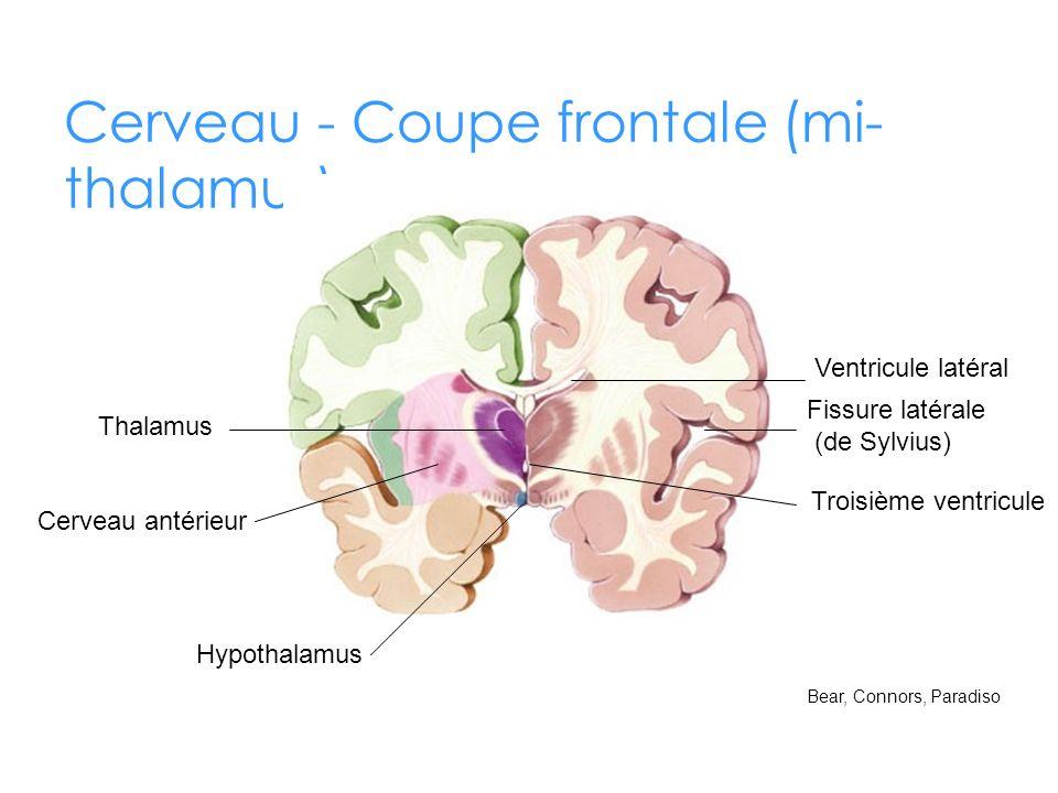 Cerveau - Coupe frontale (mi-thalamus)