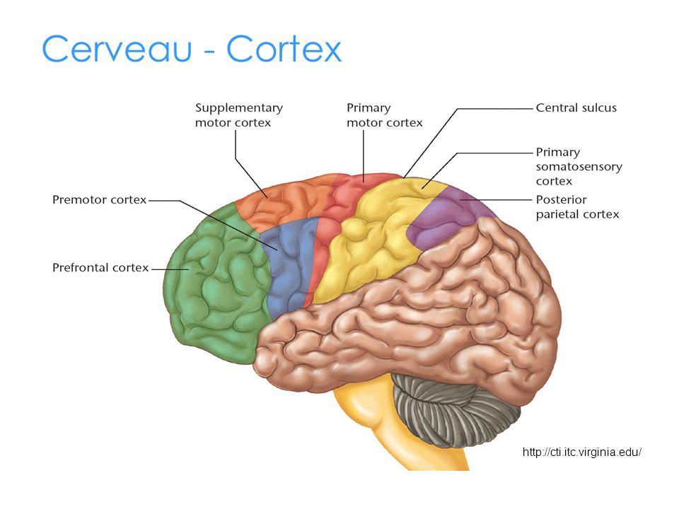Cerveau - Cortex Montrer l'aire motrice (rouge) et l'aire sensitive (jaune) http://cti.itc.virginia.edu/