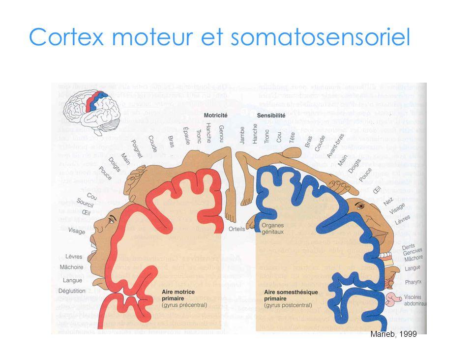 Cortex moteur et somatosensoriel