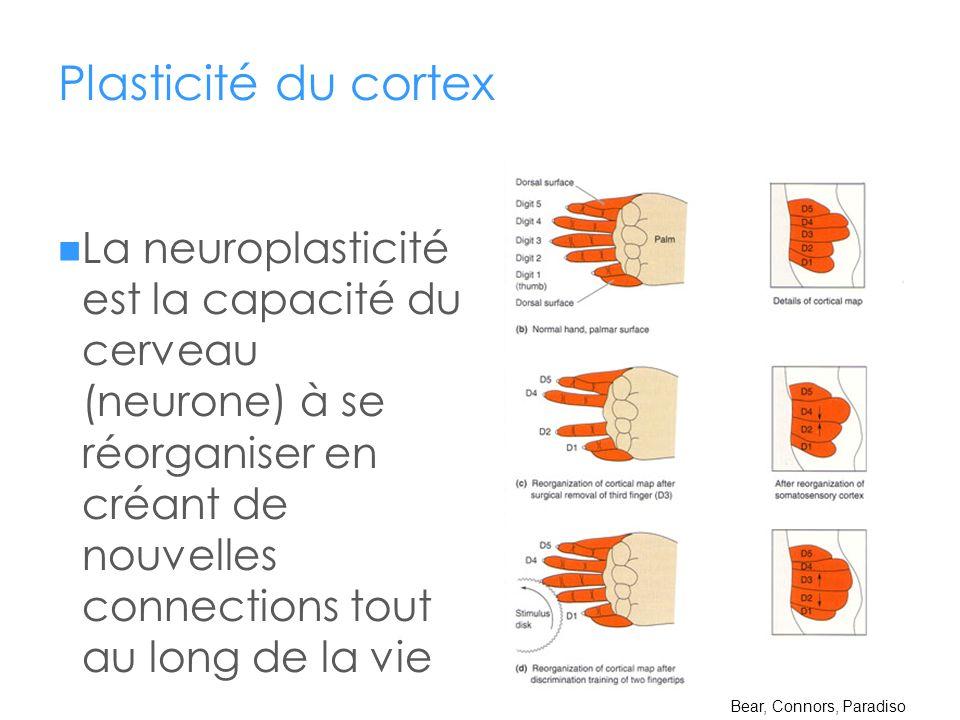 Plasticité du cortex
