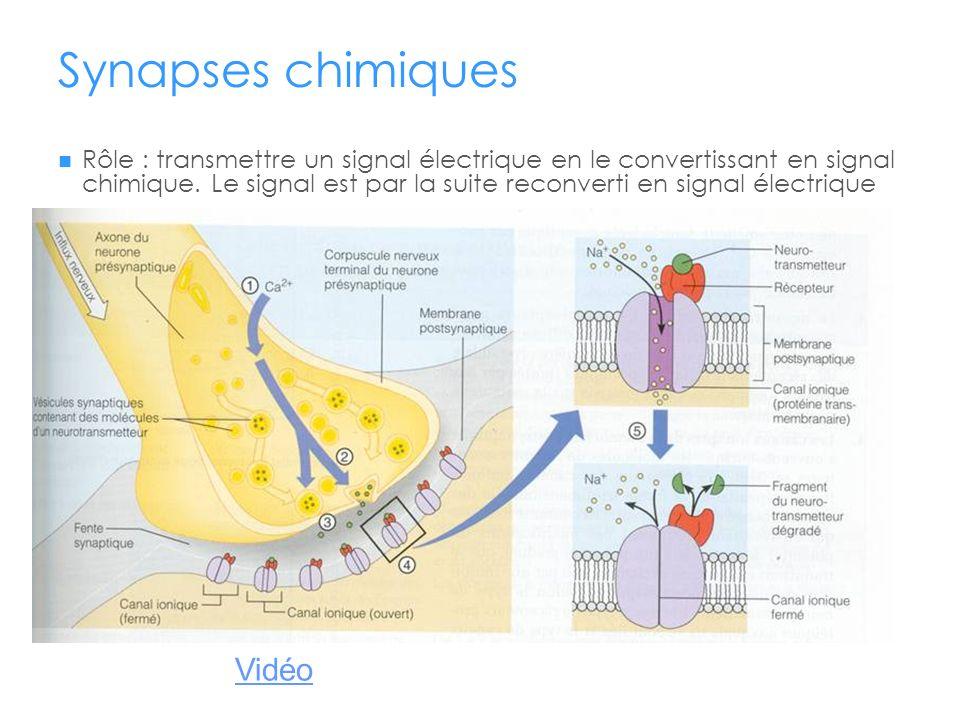 Synapses chimiques Vidéo
