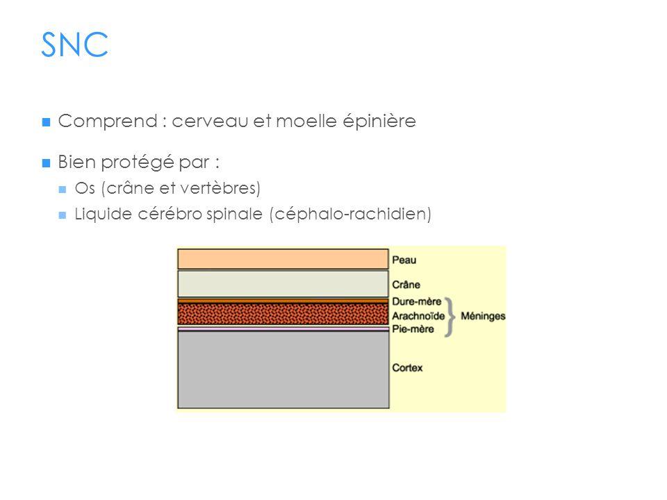 SNC Comprend : cerveau et moelle épinière Bien protégé par :