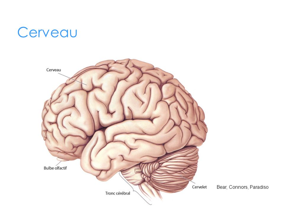 Cerveau Cerveau (encéphale) : Environ 2 fois gros comme le poing