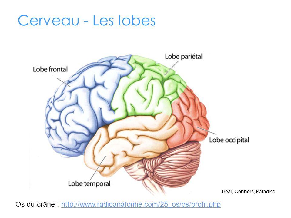 Cerveau - Les lobes Sillons : Rainures superficielles qui séparent les lobes. 5e lobe : Insulaire.