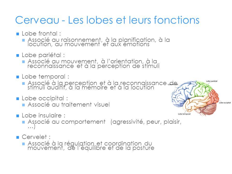 Cerveau - Les lobes et leurs fonctions