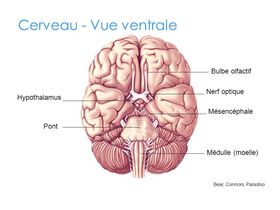 Cerveau - Vue ventrale Bulbe olfactif Nerf optique Hypothalamus