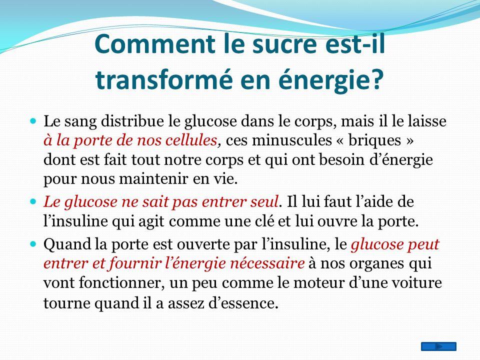 Comment le sucre est-il transformé en énergie