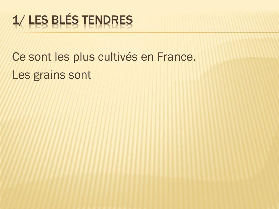 1/ Les blés tendres Ce sont les plus cultivés en France. Les grains sont