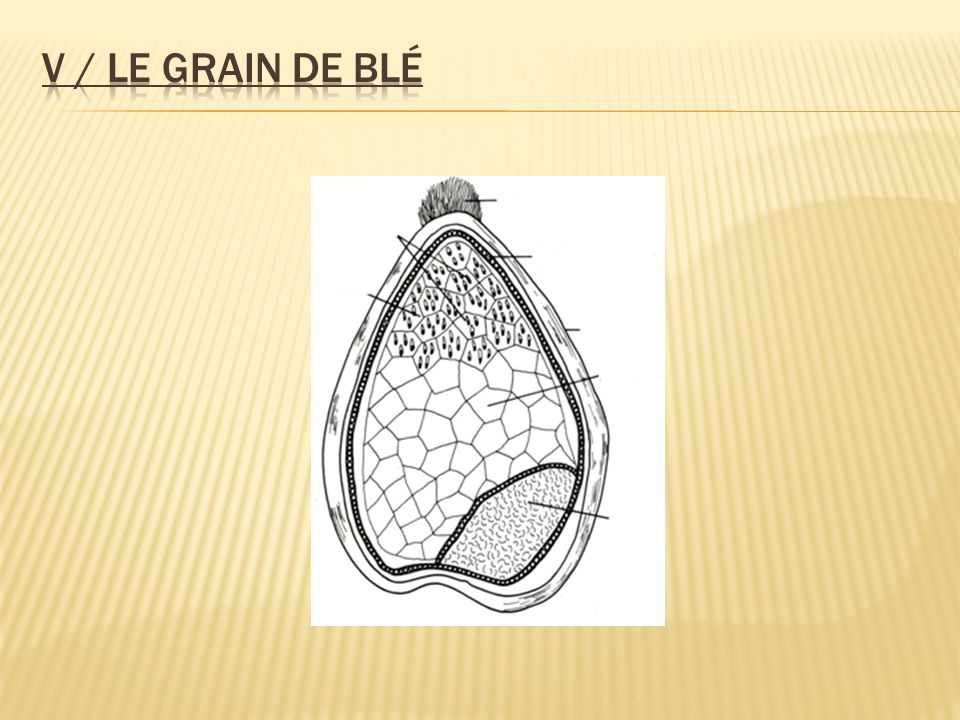 V / Le grain de blé