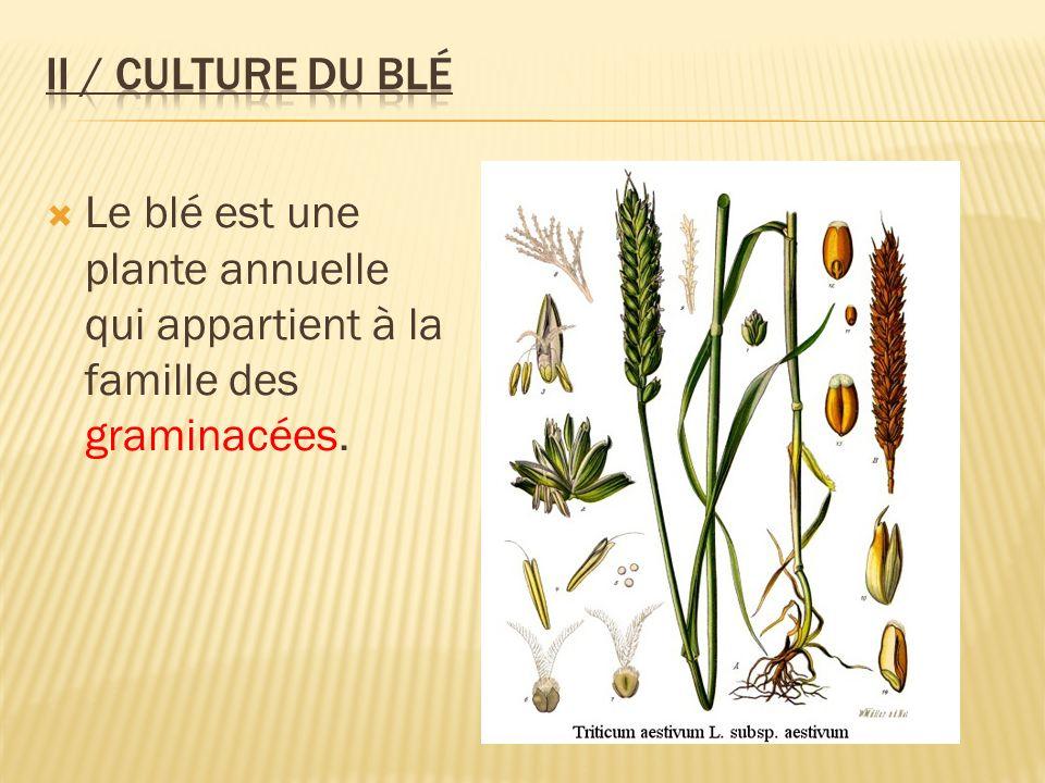 II / Culture du blé Le blé est une plante annuelle qui appartient à la famille des graminacées.