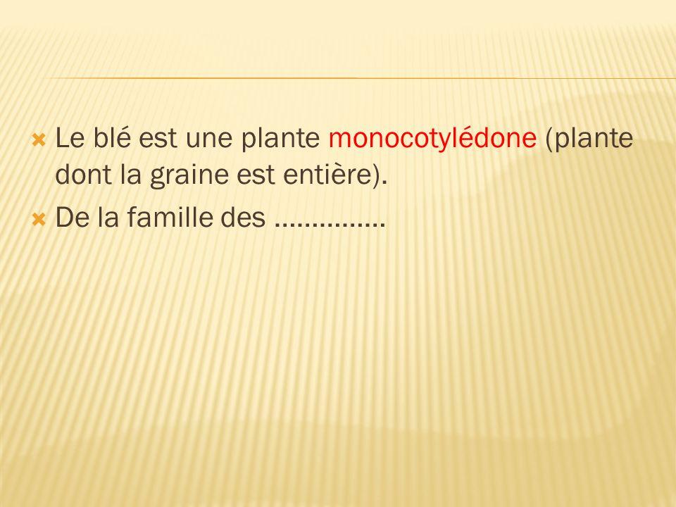 Le blé est une plante monocotylédone (plante dont la graine est entière).