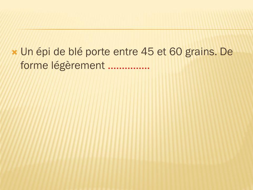 Un épi de blé porte entre 45 et 60 grains. De forme légèrement ……………