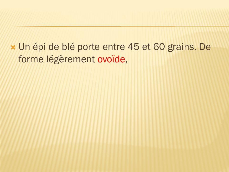 Un épi de blé porte entre 45 et 60 grains. De forme légèrement ovoïde,