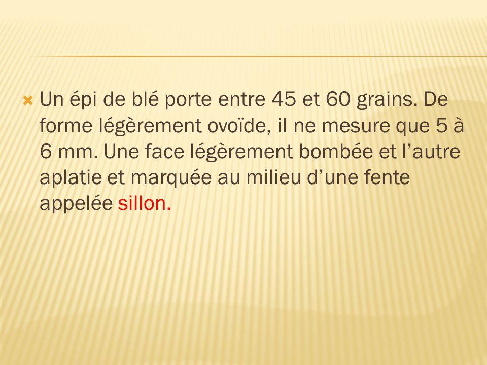 Un épi de blé porte entre 45 et 60 grains