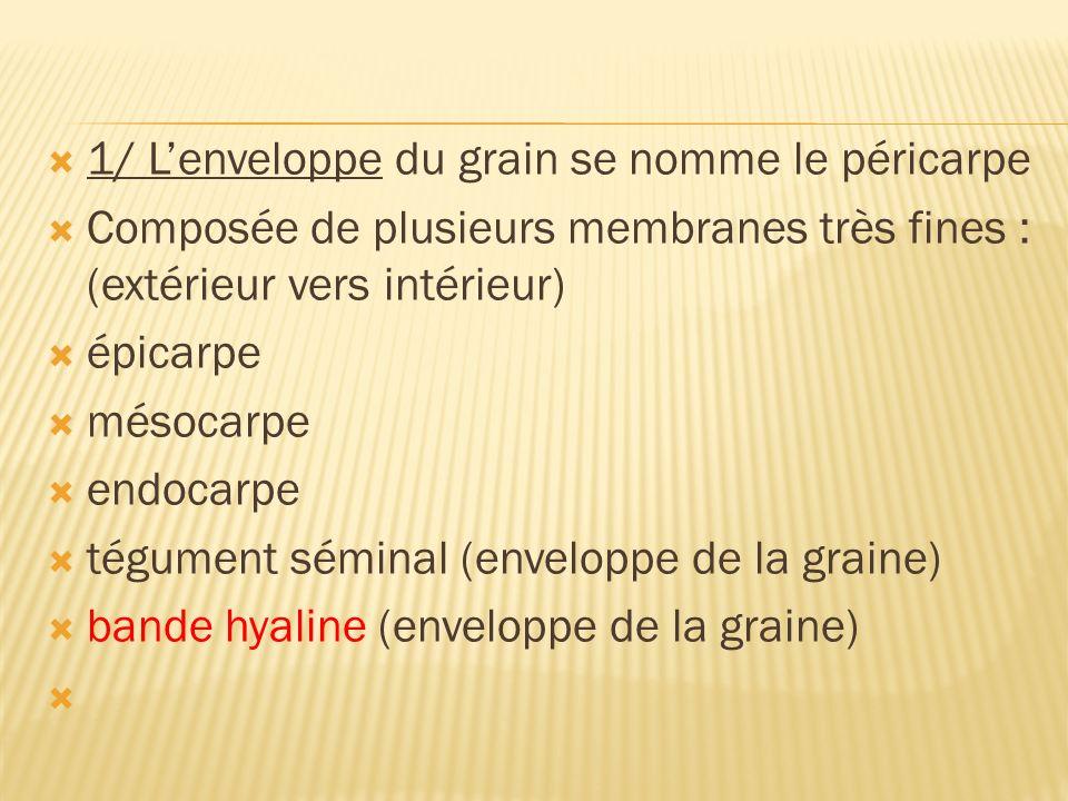 1/ L'enveloppe du grain se nomme le péricarpe