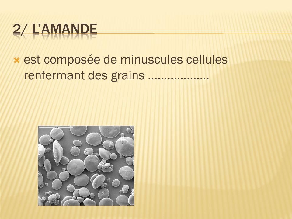 2/ L'amande est composée de minuscules cellules renfermant des grains ……………….