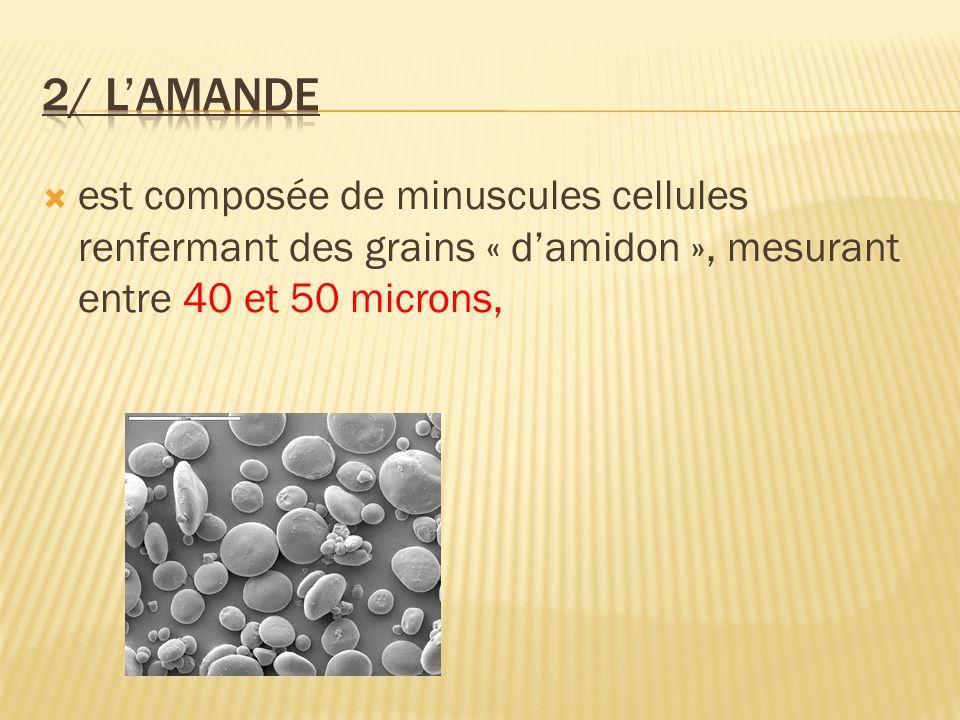 2/ L'amande est composée de minuscules cellules renfermant des grains « d'amidon », mesurant entre 40 et 50 microns,