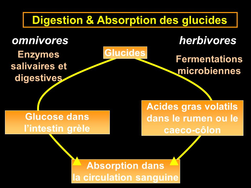 Digestion & Absorption des glucides