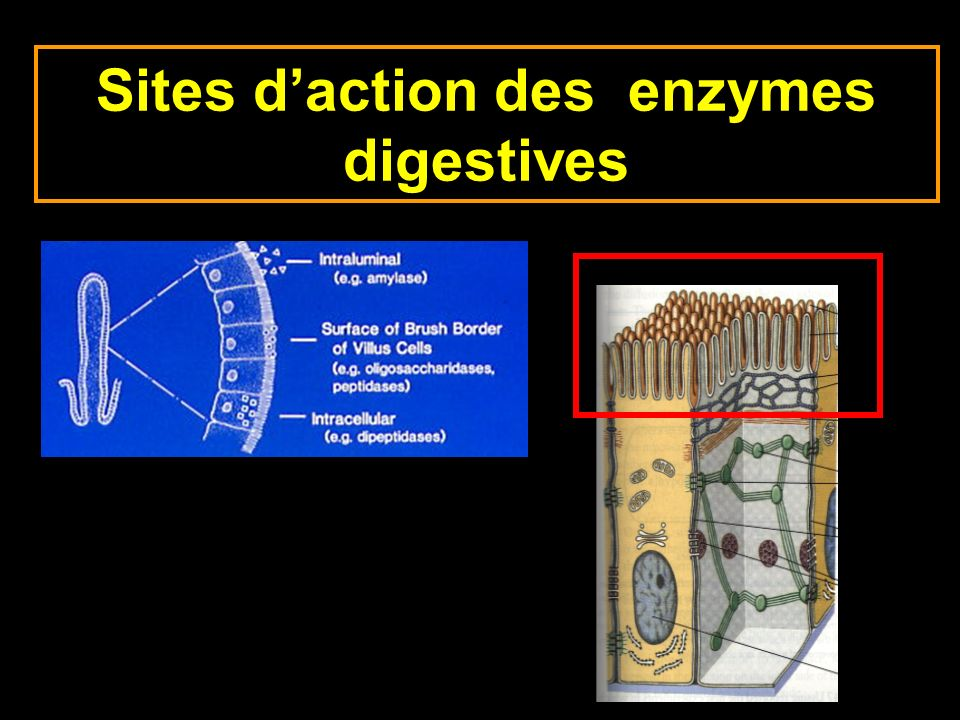 Sites d'action des enzymes digestives