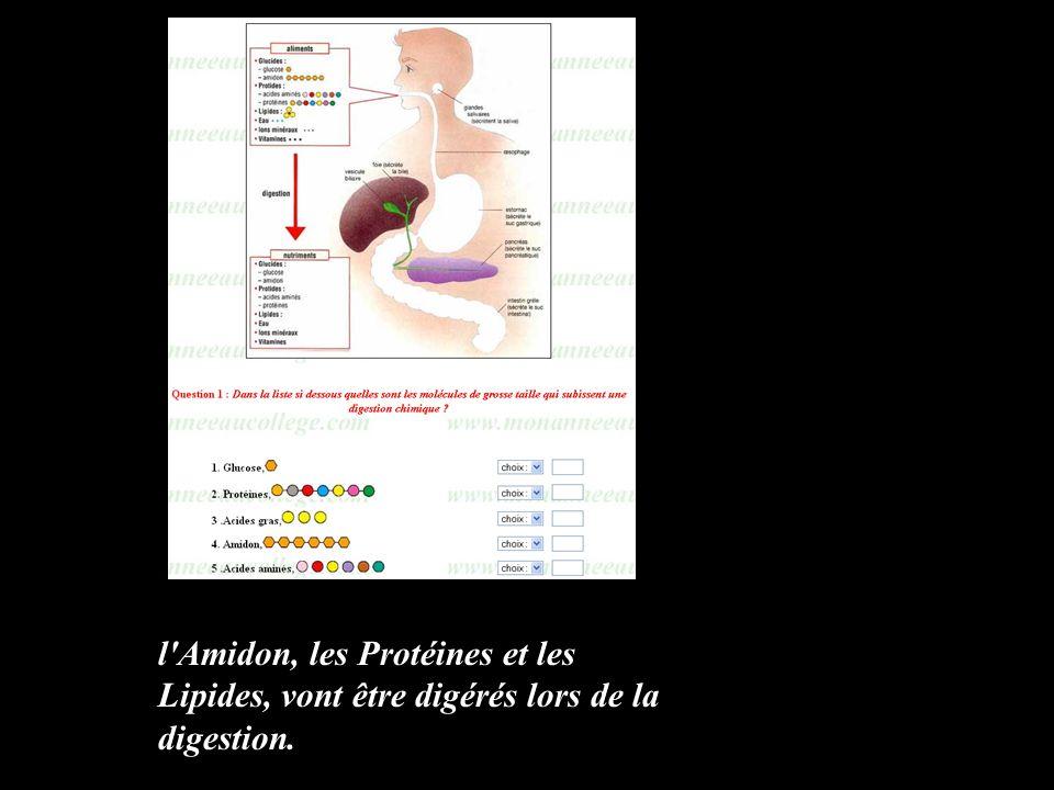 l Amidon, les Protéines et les Lipides, vont être digérés lors de la digestion.