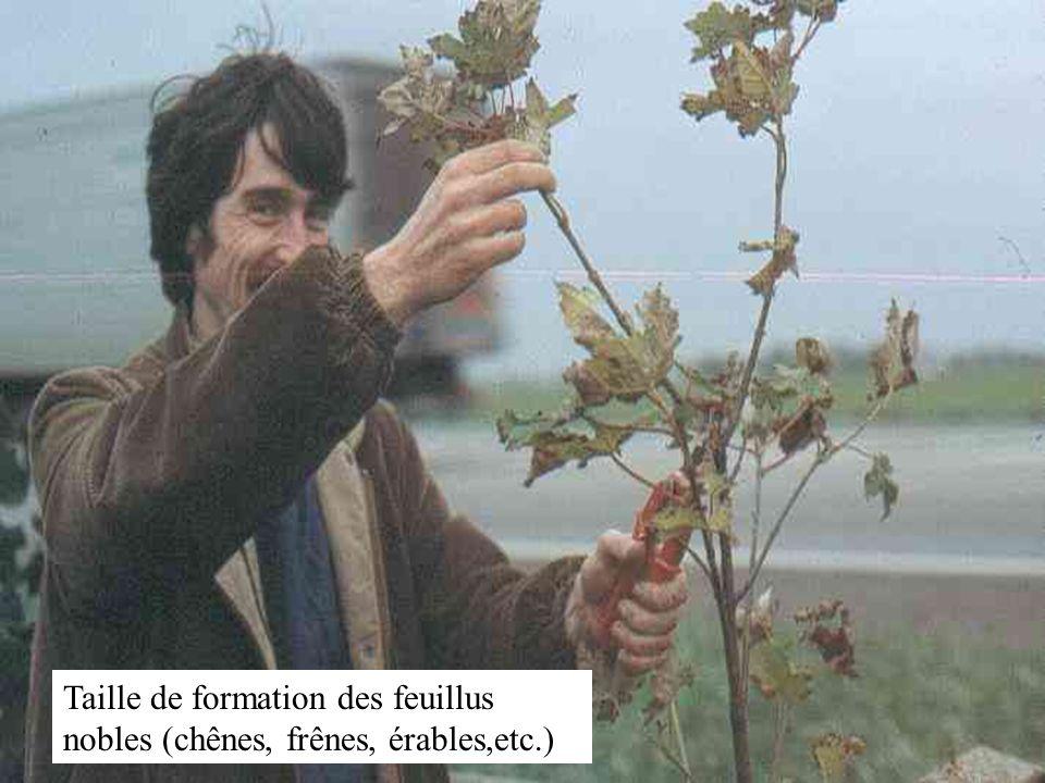Taille de formation des feuillus nobles (chênes, frênes, érables,etc.)
