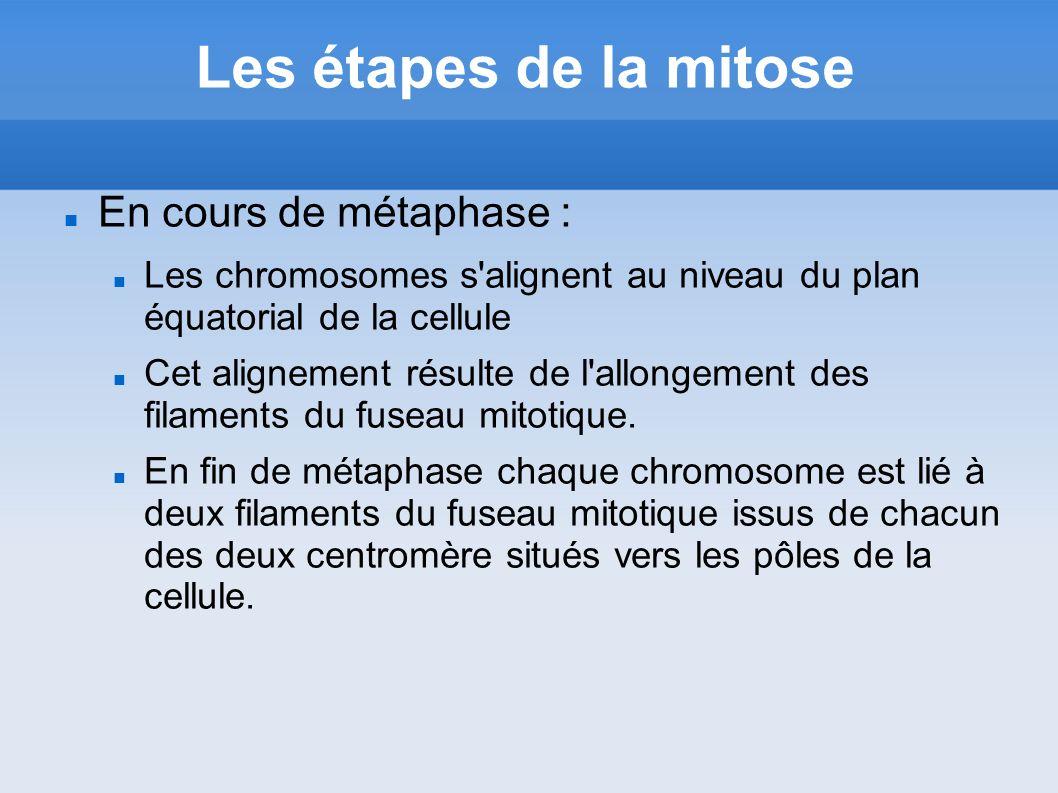 Les étapes de la mitose En cours de métaphase :