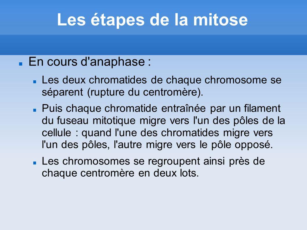 Les étapes de la mitose En cours d anaphase :