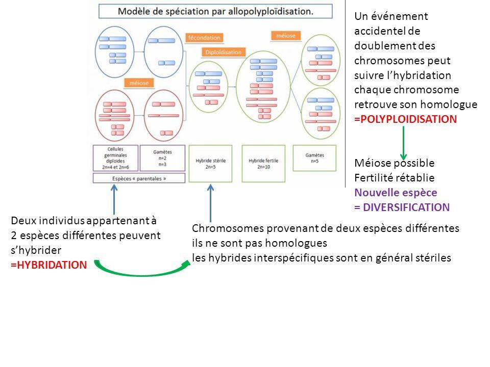 Un événement accidentel de doublement des chromosomes peut suivre l'hybridation chaque chromosome retrouve son homologue