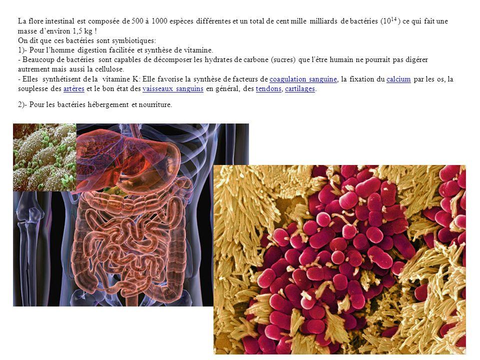 La flore intestinal est composée de 500 à 1000 espèces différentes et un total de cent mille milliards de bactéries (1014 ) ce qui fait une masse d'environ 1,5 kg ! On dit que ces bactéries sont symbiotiques: 1)- Pour l'homme digestion facilitée et synthèse de vitamine. - Beaucoup de bactéries sont capables de décomposer les hydrates de carbone (sucres) que l être humain ne pourrait pas digérer autrement mais aussi la cellulose. - Elles synthétisent de la vitamine K: Elle favorise la synthèse de facteurs de coagulation sanguine, la fixation du calcium par les os, la souplesse des artères et le bon état des vaisseaux sanguins en général, des tendons, cartilages.