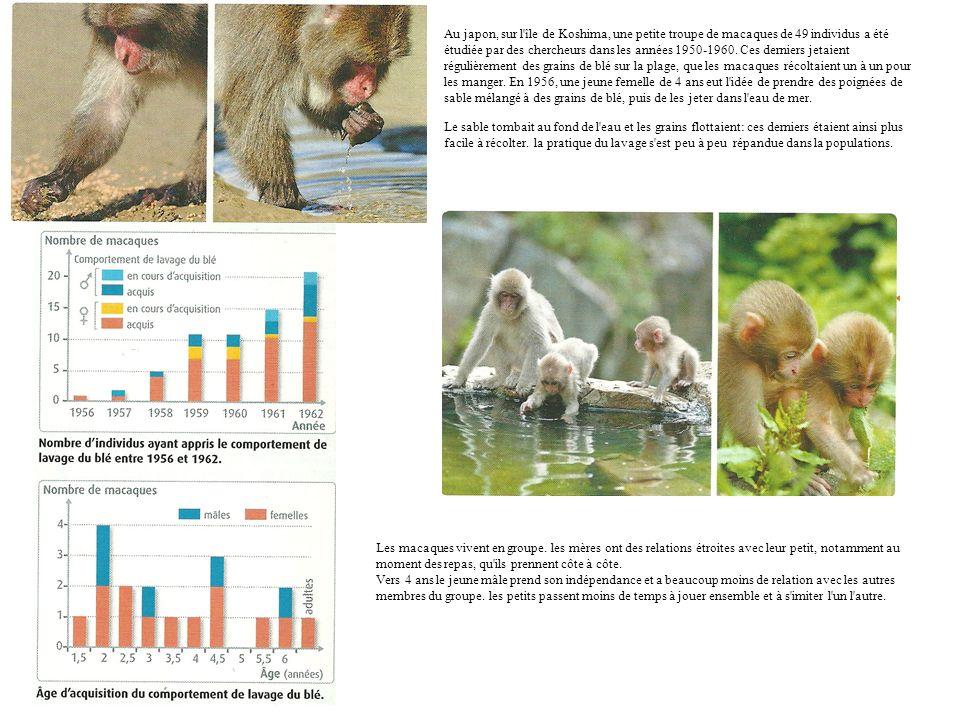 Au japon, sur l île de Koshima, une petite troupe de macaques de 49 individus a été étudiée par des chercheurs dans les années 1950-1960. Ces derniers jetaient régulièrement des grains de blé sur la plage, que les macaques récoltaient un à un pour les manger. En 1956, une jeune femelle de 4 ans eut l idée de prendre des poignées de sable mélangé à des grains de blé, puis de les jeter dans l eau de mer.