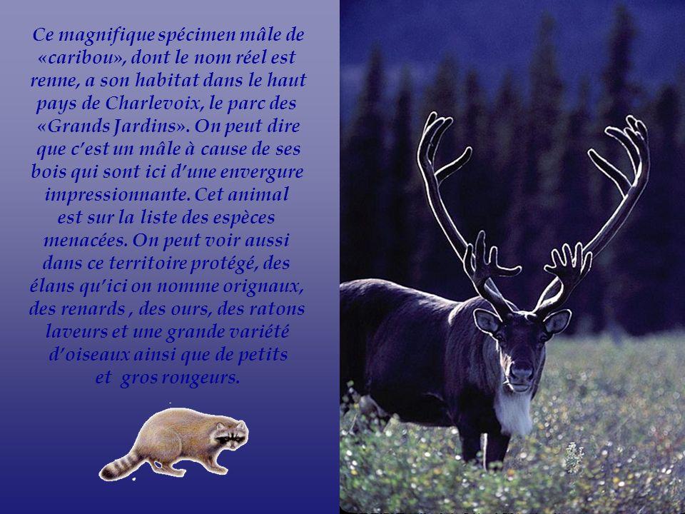 Ce magnifique spécimen mâle de «caribou», dont le nom réel est