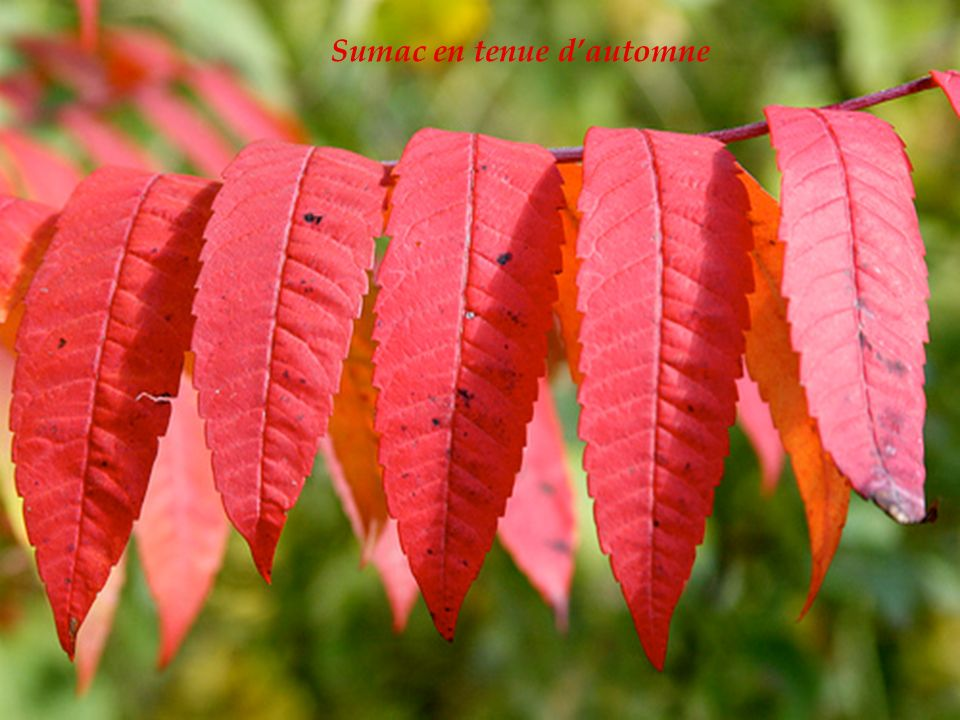 Sumac en tenue d'automne