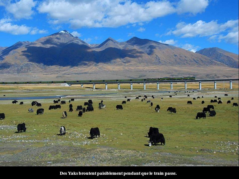 Des Yaks broutent paisiblement pendant que le train passe.