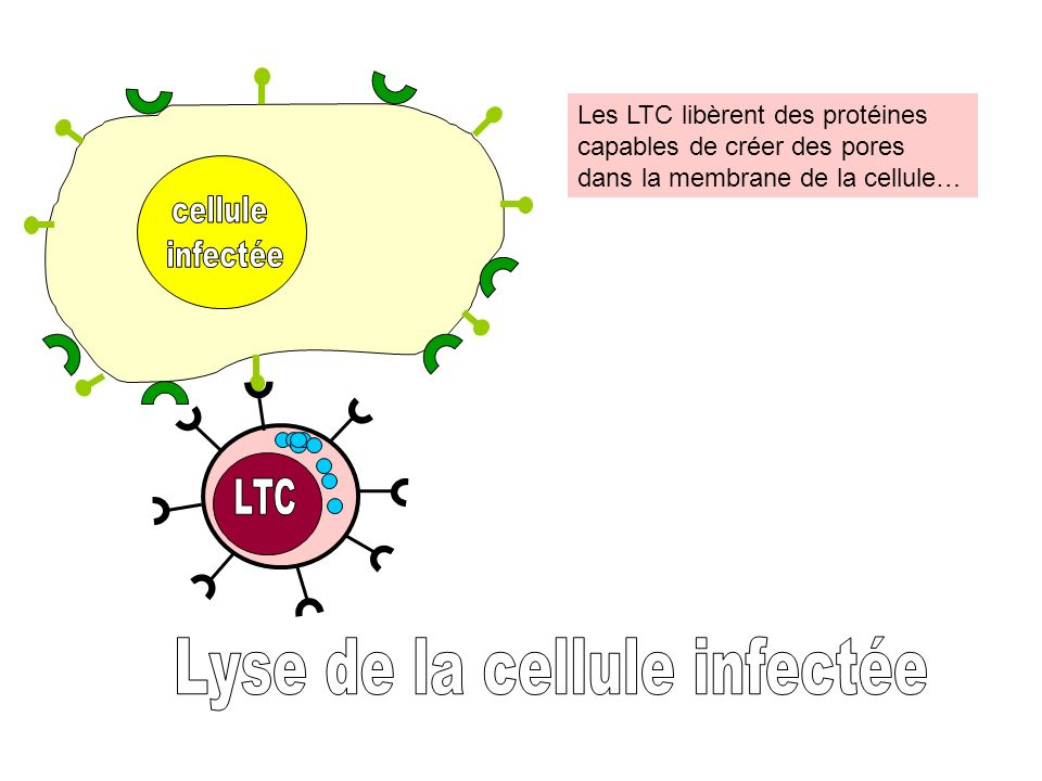 Lyse de la cellule infectée