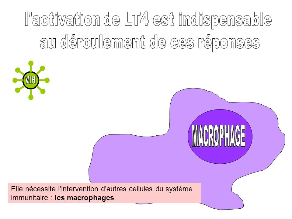 VIH MACROPHAGE l activation de LT4 est indispensable