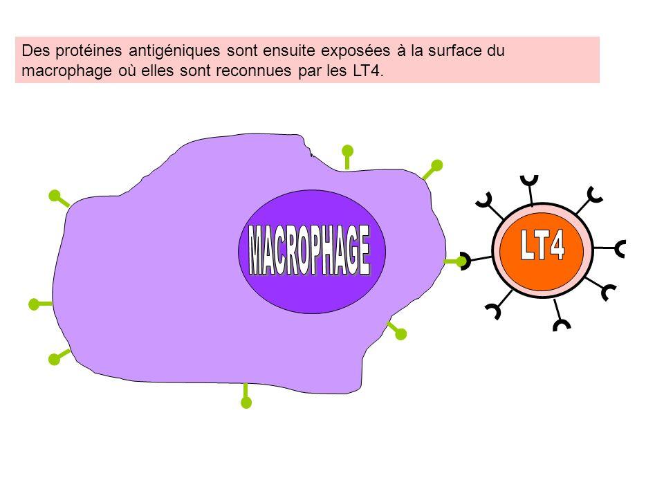 LT4 MACROPHAGE MACROPHAGE