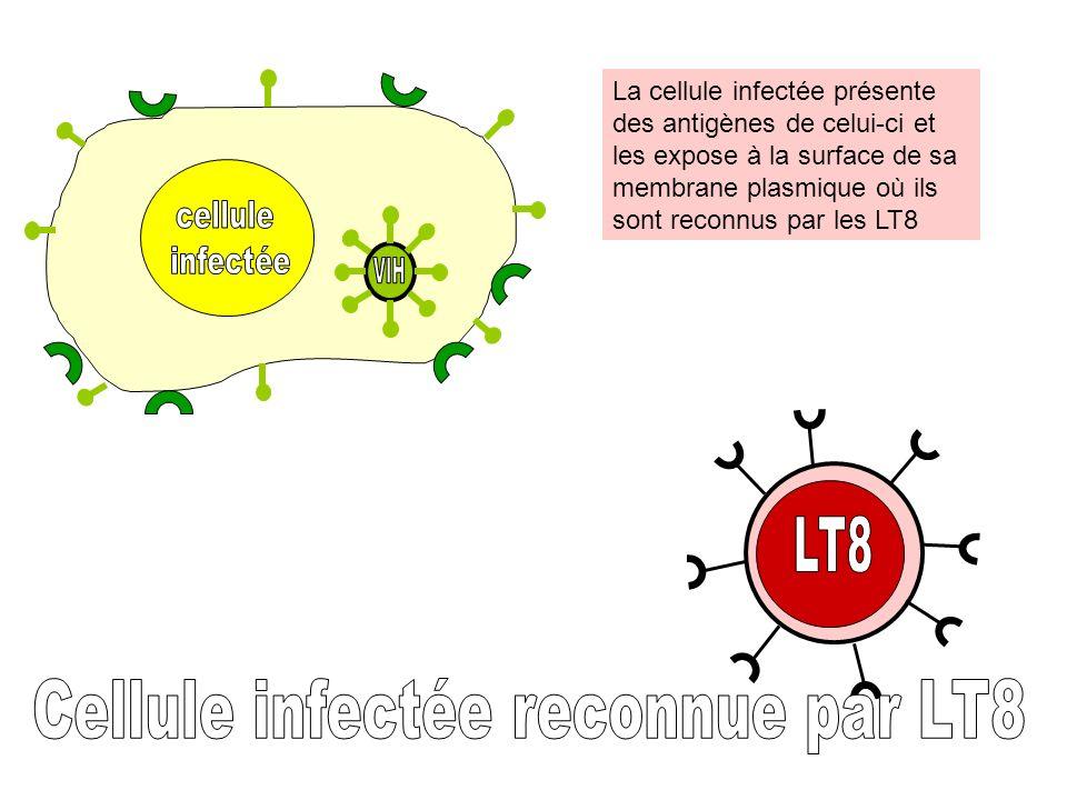 Cellule infectée reconnue par LT8