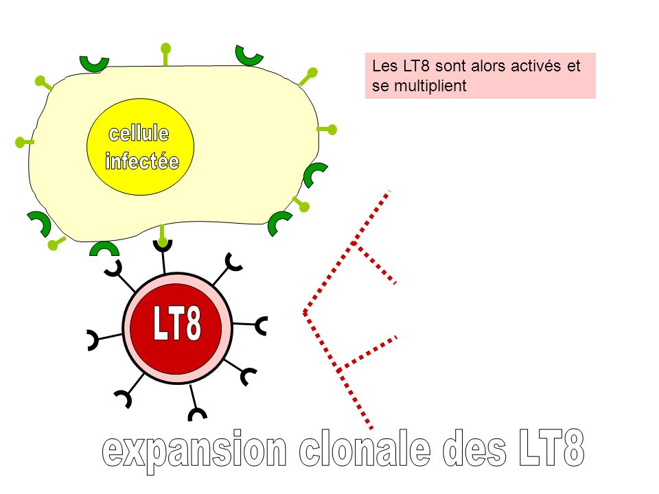 expansion clonale des LT8