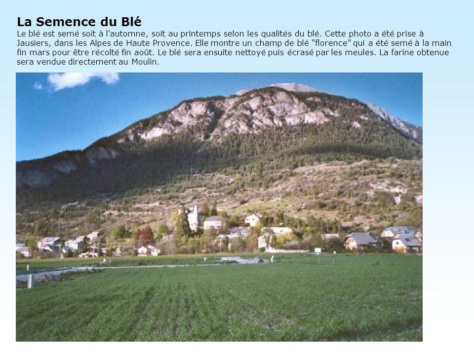 La Semence du Blé Le blé est semé soit à l automne, soit au printemps selon les qualités du blé.