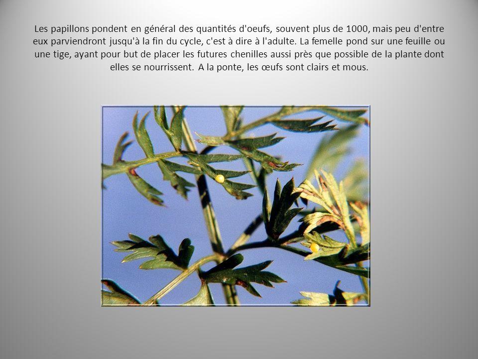 Les papillons pondent en général des quantités d oeufs, souvent plus de 1000, mais peu d entre eux parviendront jusqu à la fin du cycle, c est à dire à l adulte.