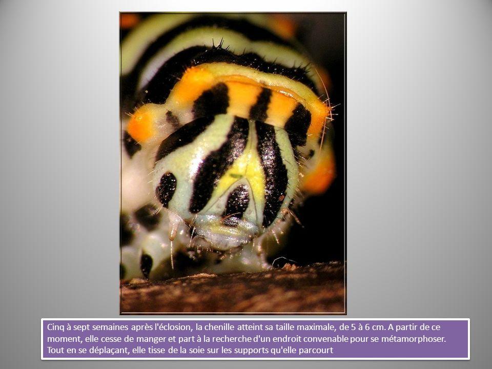 Cinq à sept semaines après l éclosion, la chenille atteint sa taille maximale, de 5 à 6 cm.