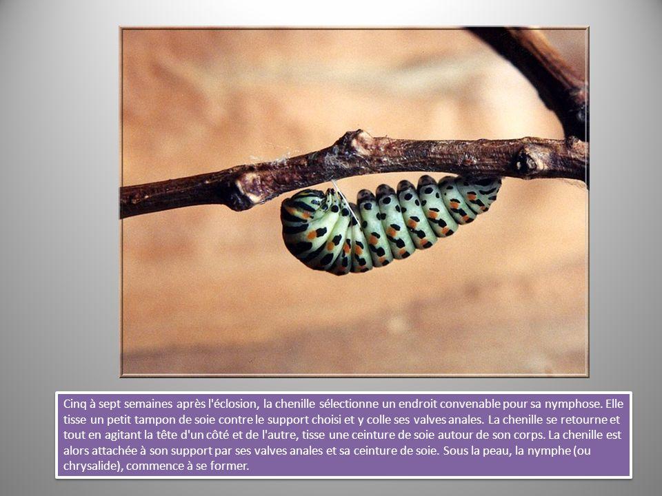 Cinq à sept semaines après l éclosion, la chenille sélectionne un endroit convenable pour sa nymphose.