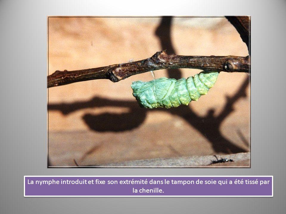 La nymphe introduit et fixe son extrémité dans le tampon de soie qui a été tissé par la chenille.