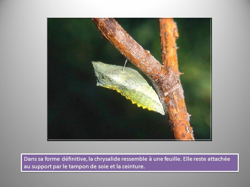 Dans sa forme définitive, la chrysalide ressemble à une feuille