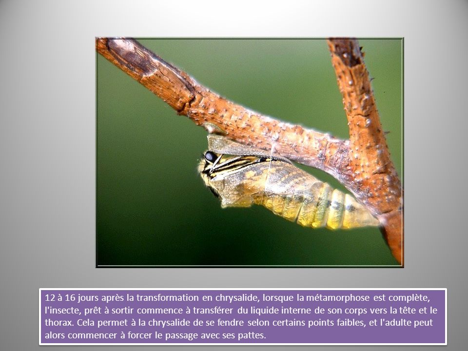 12 à 16 jours après la transformation en chrysalide, lorsque la métamorphose est complète, l insecte, prêt à sortir commence à transférer du liquide interne de son corps vers la tête et le thorax.
