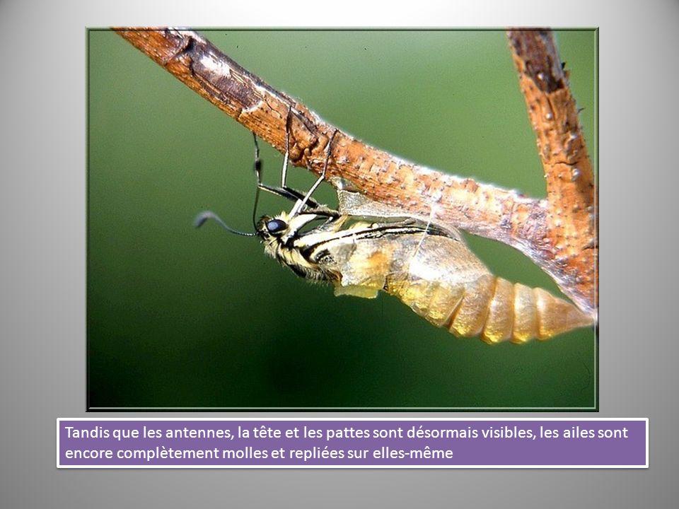 Tandis que les antennes, la tête et les pattes sont désormais visibles, les ailes sont encore complètement molles et repliées sur elles-même