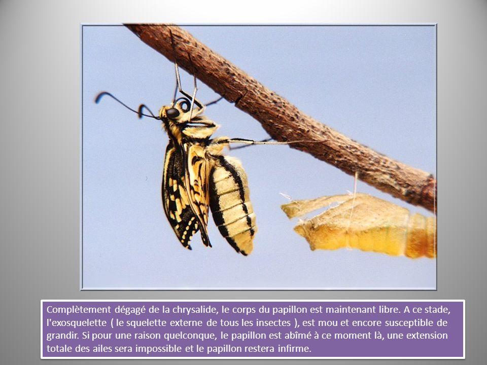 Complètement dégagé de la chrysalide, le corps du papillon est maintenant libre.