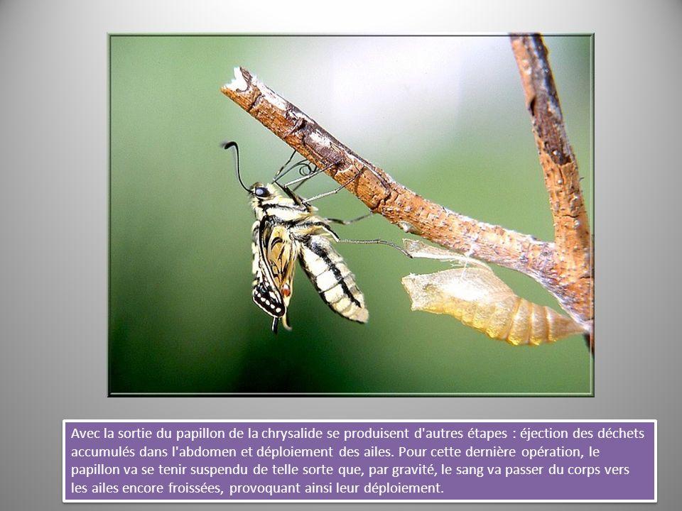 Avec la sortie du papillon de la chrysalide se produisent d autres étapes : éjection des déchets accumulés dans l abdomen et déploiement des ailes.