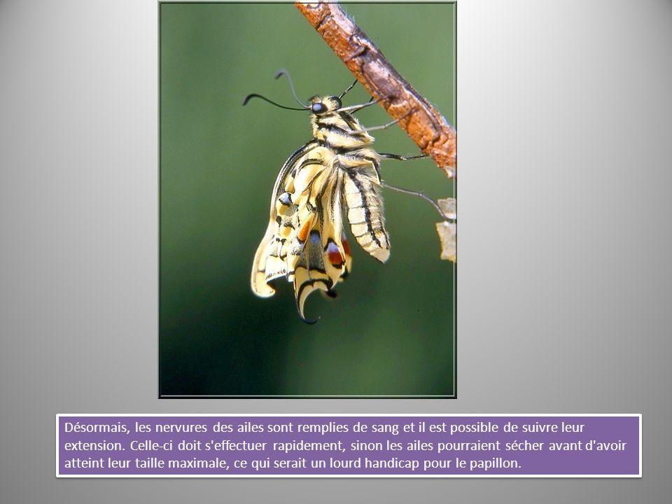 Désormais, les nervures des ailes sont remplies de sang et il est possible de suivre leur extension.