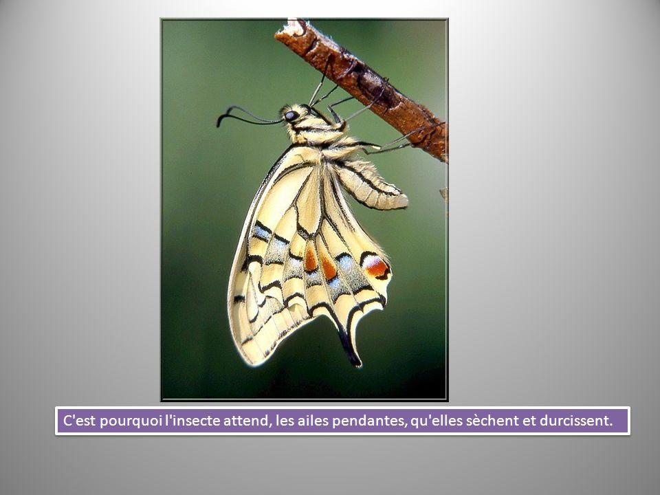 C est pourquoi l insecte attend, les ailes pendantes, qu elles sèchent et durcissent.